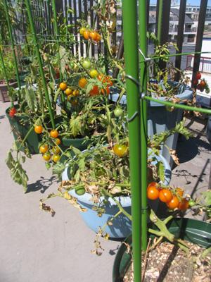 ミニトマトが、収穫のピークを迎えました