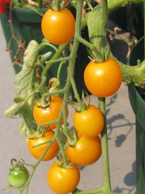 黄色ミニトマト