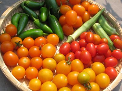 オレンジ・イエロー・レッド、3色ミニトマトの収穫