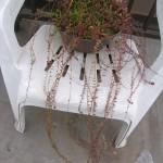種から育てたクランベリー、伸びたよ!