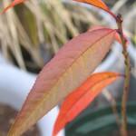 ネクタリンの紅葉