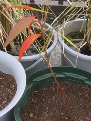 発芽から232日目、ネクタリンを植え替えた