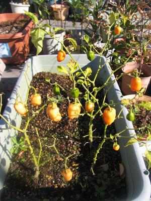 ハバネロオレンジ、発芽から249日目