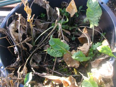 12月、西洋わさびの葉が枯れました