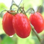 トマト王子の収穫がはじまりました