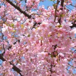 春分の日、河津桜まんかい