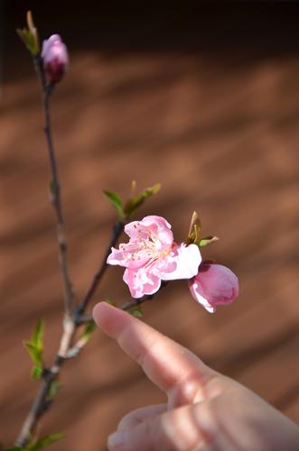 ネクタリンの開花はじまる@2012年4月4日