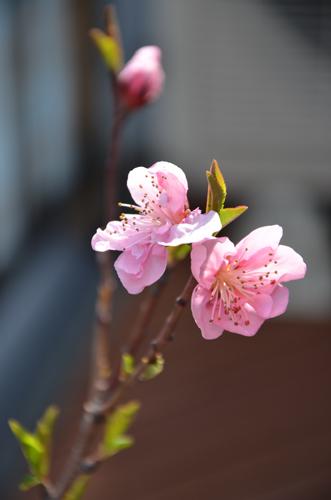 開花1日目に、ふたつの蕾が開いた