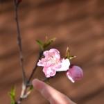 ネクタリン(ズバイモモ)の開花