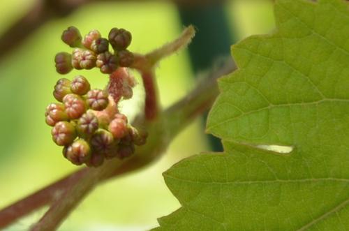 ブドウのつぼみ