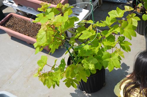 黒ブドウのベリーA、発芽から4年(1472日目)