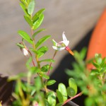 クランベリー開花