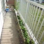 しゅーじさん家のベランダ菜園とイチゴ畑
