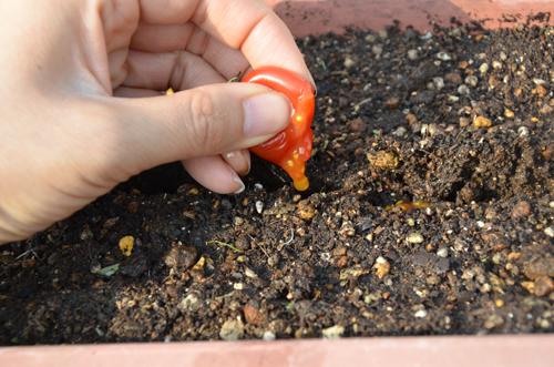 ミニトマトをつぶして、そのまま種を蒔きます