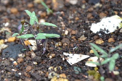 種まきから10日ほどで発芽
