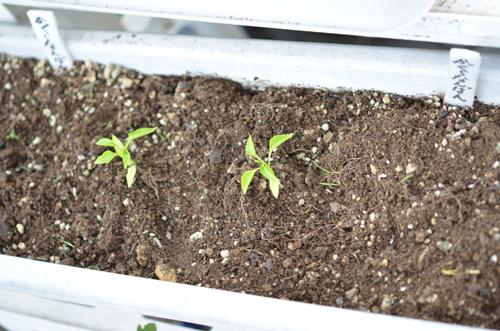唐辛子かぐらなんばん、芽が二つ