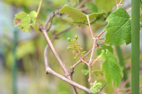 ナイアガラ、発芽から1504日目(約4年)