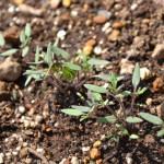 ミニトマト・優糖星の芽