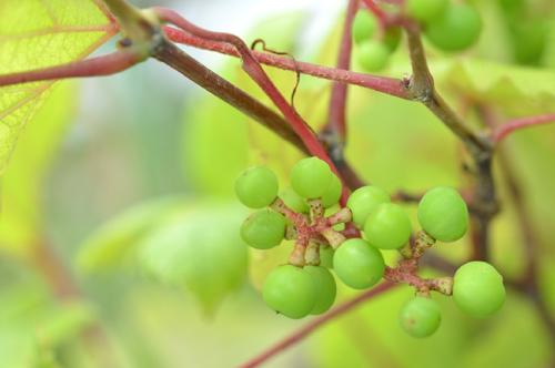 ブドウのベリーA