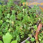 種から育てたクランベリーに、実がついた!