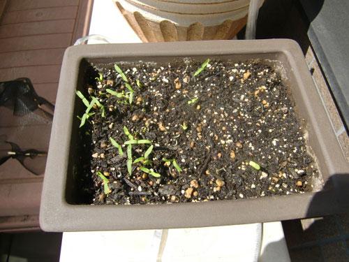 種まきから3週間、4月末に発芽!