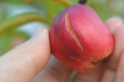 ひび割れ桃