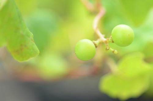 白ブドウのナイアガラ