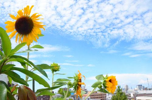 盛夏!うろこ雲がきれい