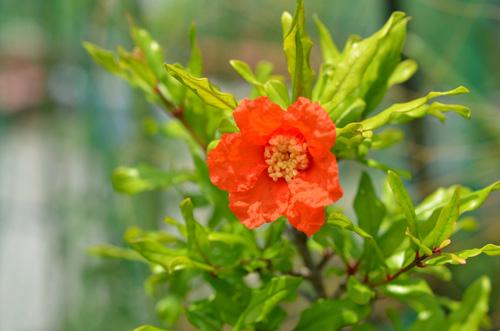 西洋ざくろの開花