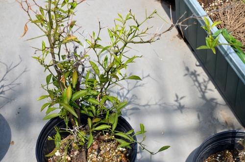 トゲトゲの柑橘の木