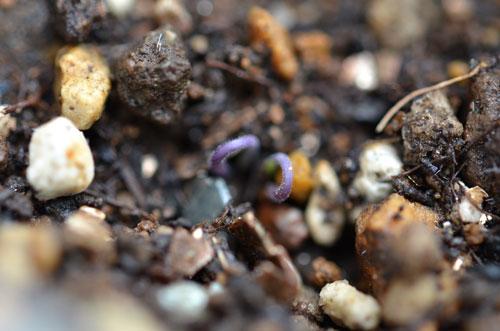 イエローミニトマトの芽