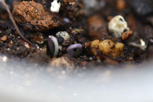 パープルミニトマトの芽