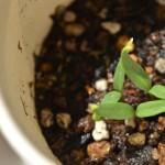 コストコのロングスイートペッパー(アマトウガラシ)が発芽
