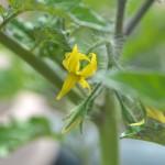 コストコのミニトマトの花