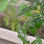シンフォニーミニトマト 発芽から48日目