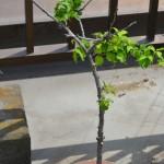 プルーン 発芽から2,238日目(約7年)