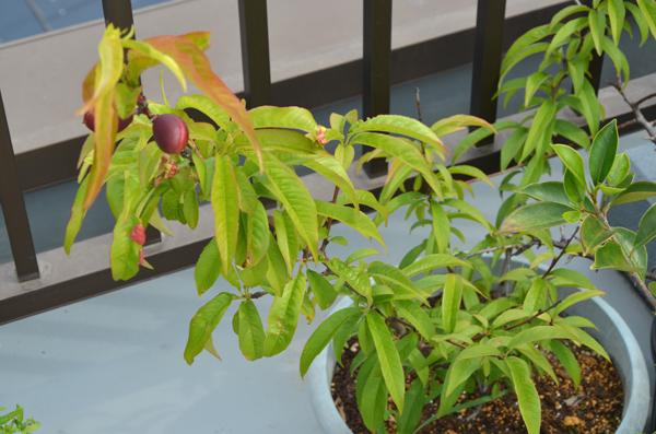 ネクタリンの木、発芽から7年