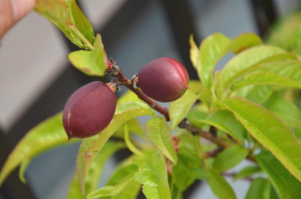 ネクタリンの果実